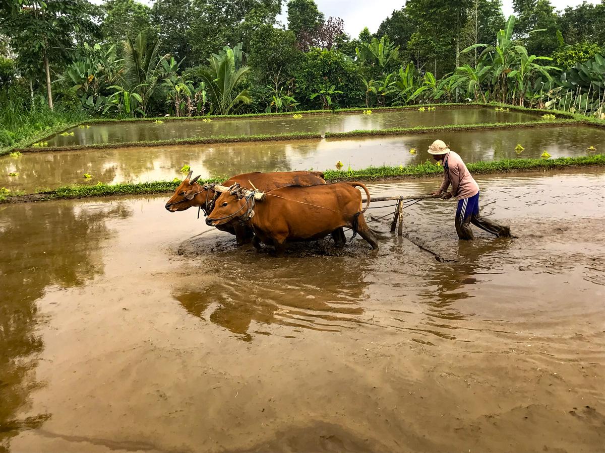 Indonésie Bali Jatiluwih rizières boeuf