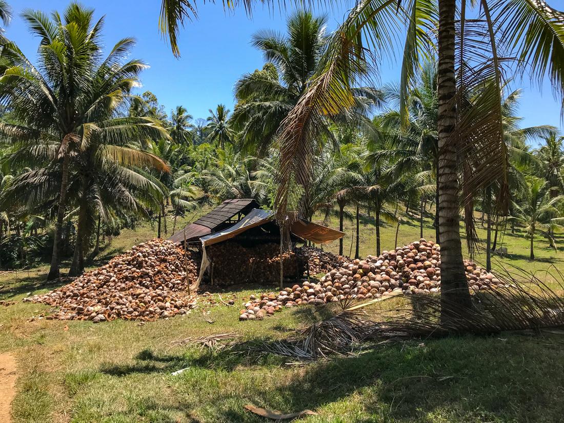 Tomohon Sulawesi Indonésie cocotier plantation