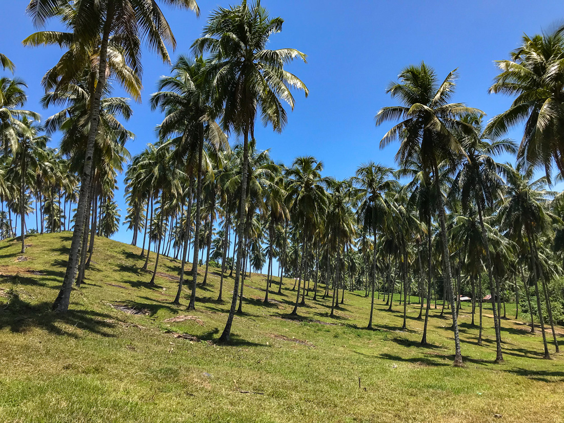 Tomohon Sulawesi Indonésie Palmiers