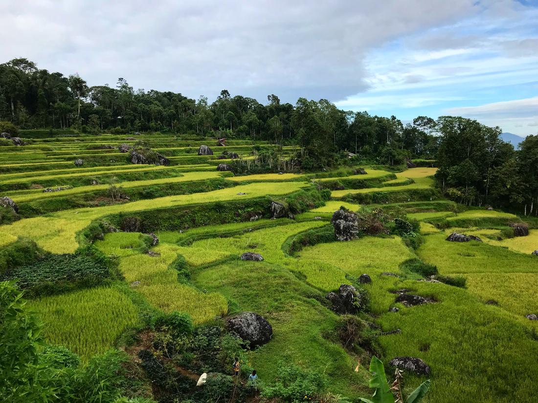 Sulawesi Indonésie Toraja Rizières Batutumonga