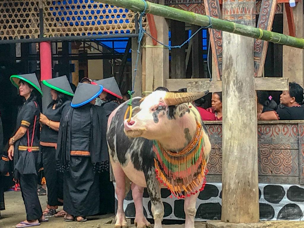 Sulawesi Indonésie Toraja Buffle spotted