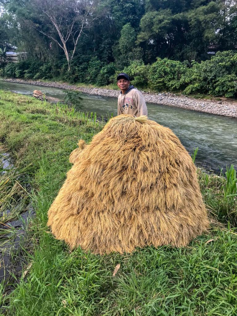 Sulawesi Indonésie Toraja Riz