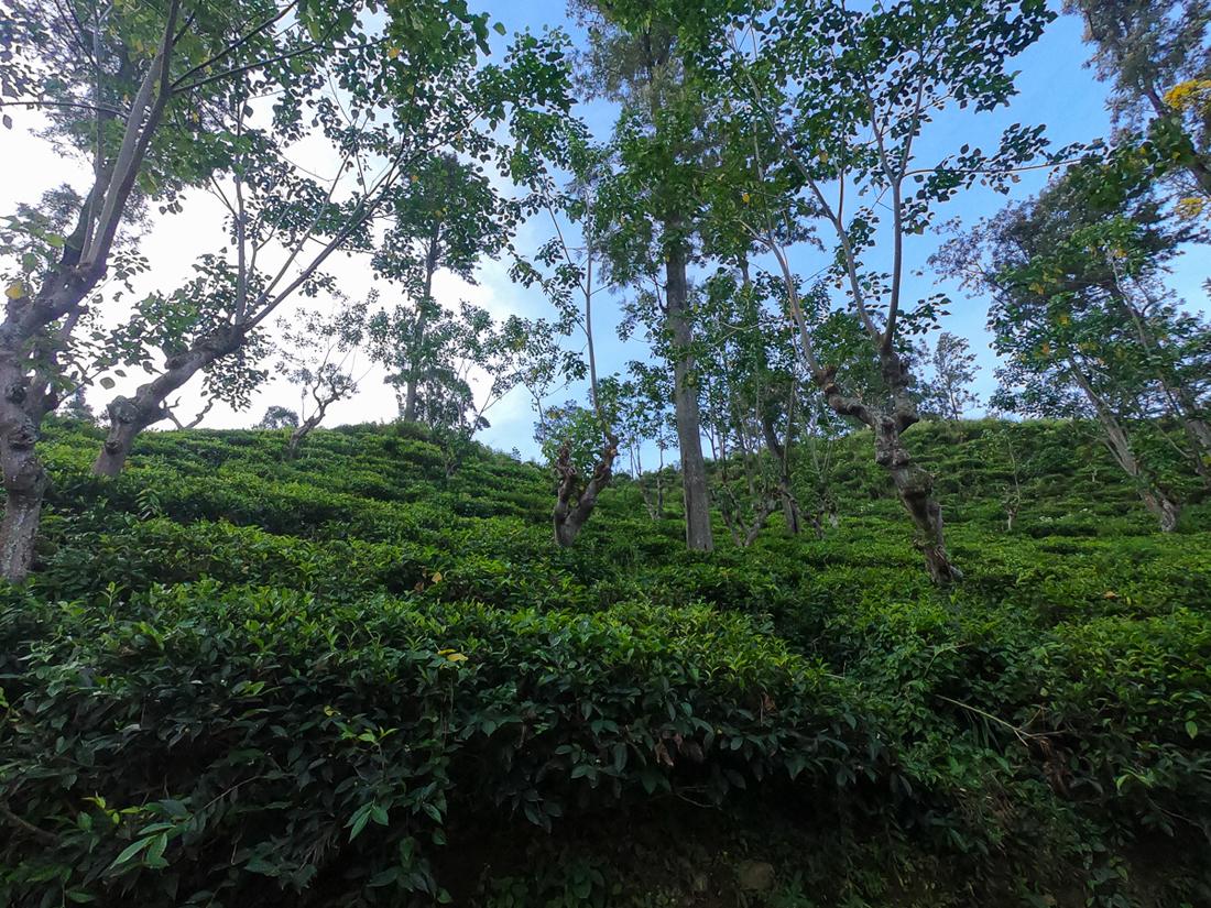 Sri Lanka Ella Little Adam's Peak Thé