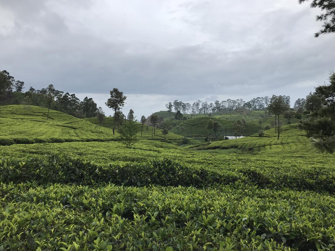 Sri Lanka Haputale Lipton seat Thé