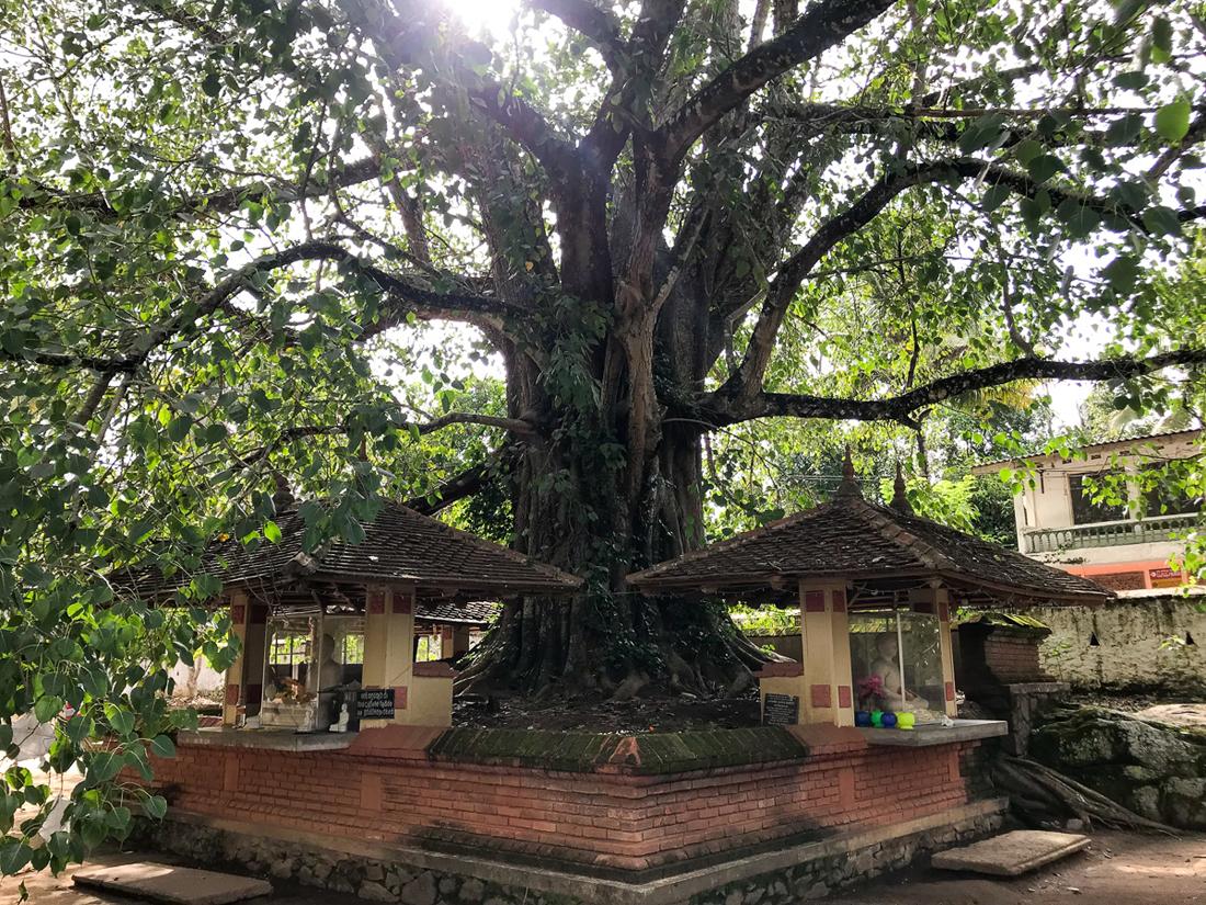 Sri Lanka Kandy Embekka Devale arbre bodhi
