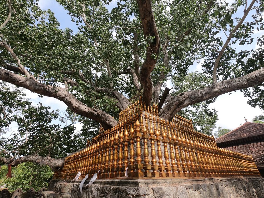 Sri Lanka Padeniya Bodi Tree