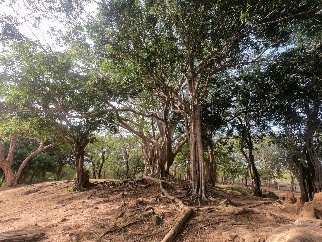 Sri Lanka Polonnaruwa Ruine Arbre