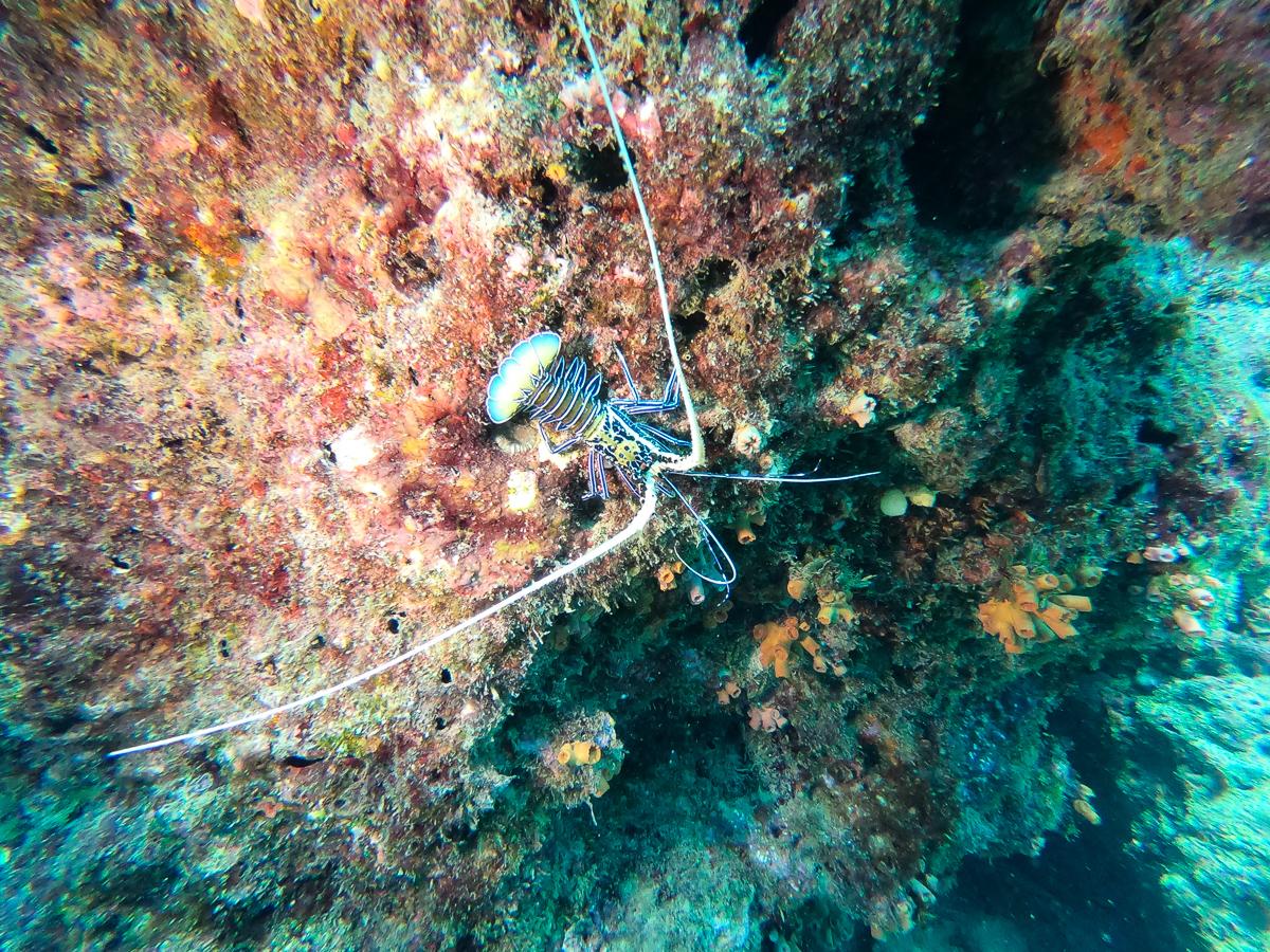 Sri Lanka Trincomalee Nilaveli Plongée Lobster