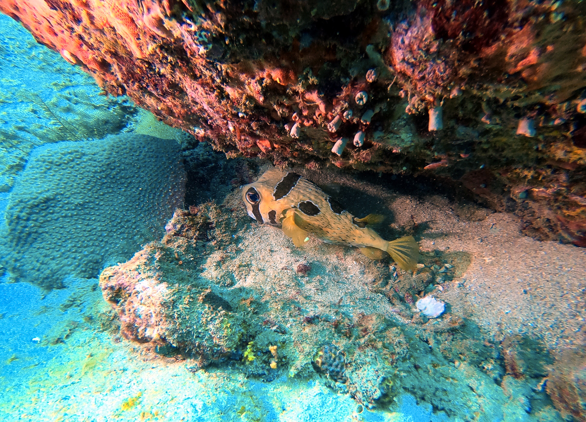 Sri Lanka Trincomalee Nilaveli Plongée Poisson Pupperfish