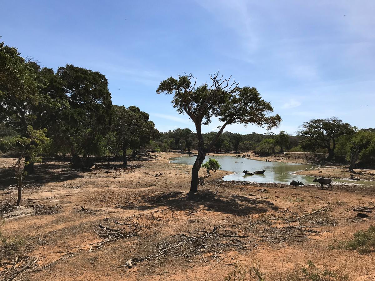 Sri Lanka Yala Park Animaux Safari Buffles