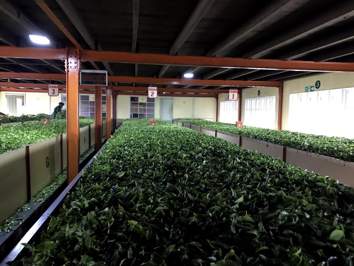 Sri Lanka Nuwara Eliya Tea Pedro Estate Plantation Tea factory