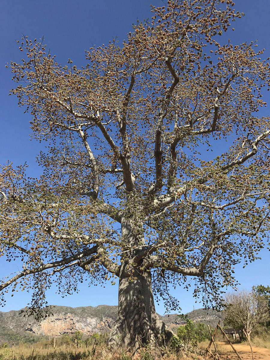Vinales Baobab